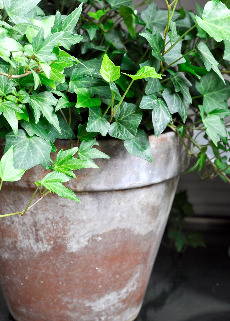 Aged Terracotta Pot with English Ivy