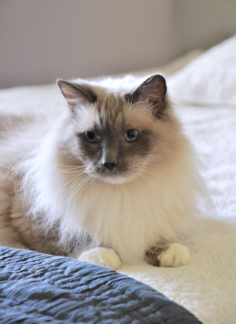 beautiful-cat-in-one-room-challenge_