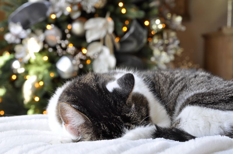 cat-sleeping-by-christmas-lights-so-sweet