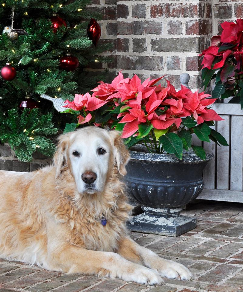 golden-retriever-christmas_
