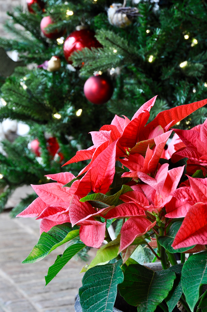 poinsettia-on-christmas-porch