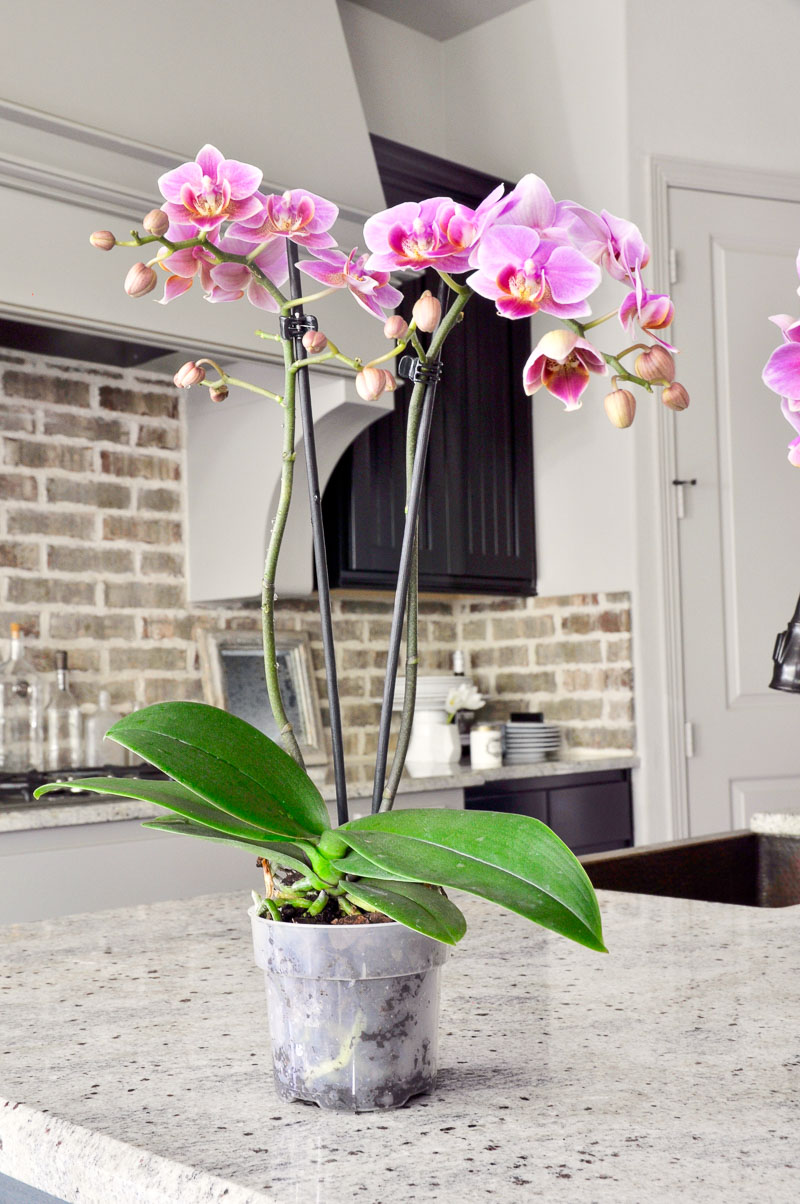 indoor orchid plant for arrangement