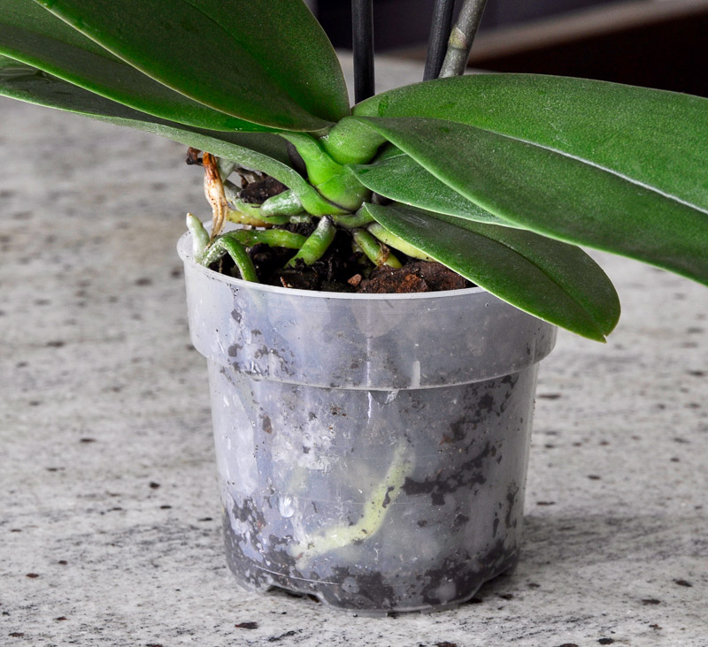 plastic orchid container