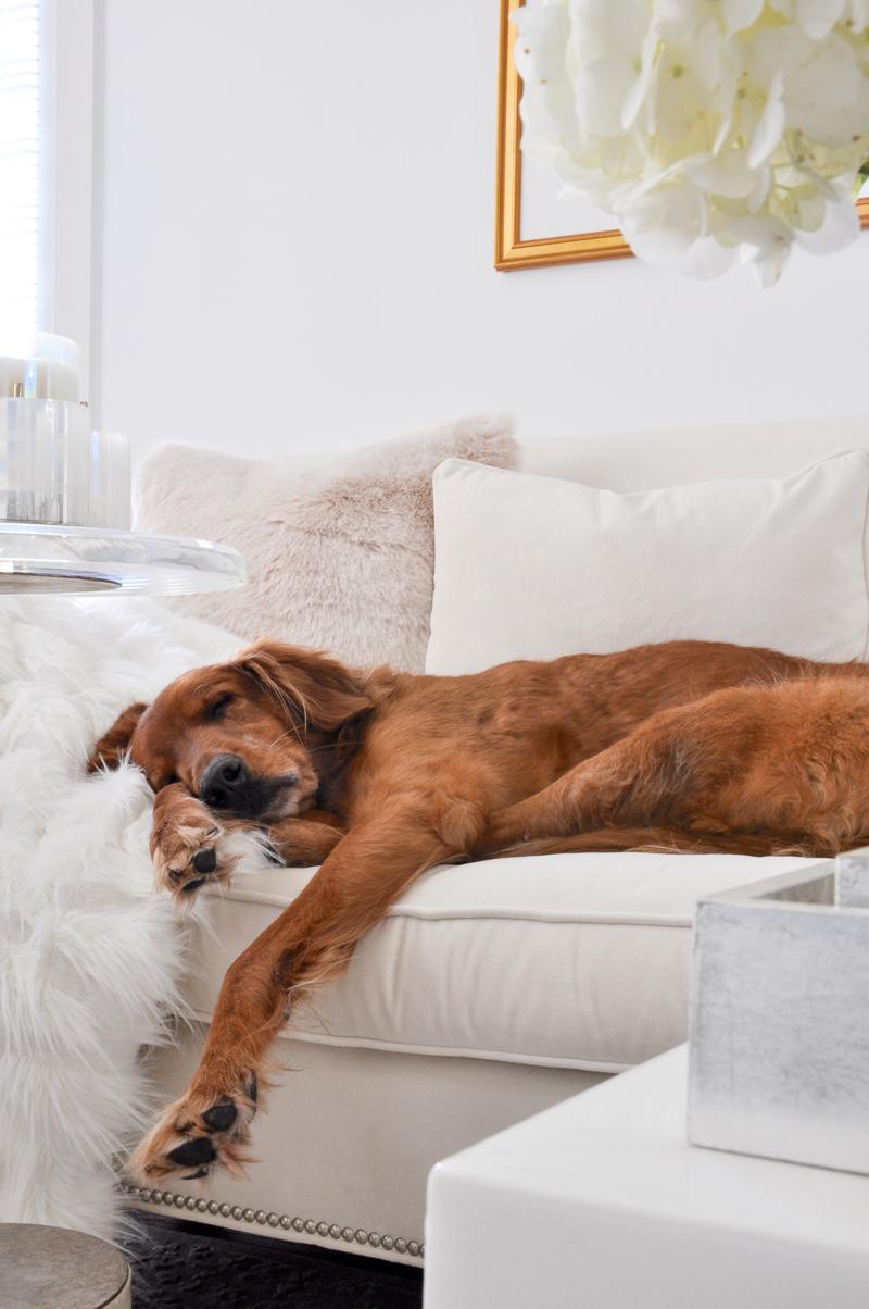 beautiful white sofa with golden retriever