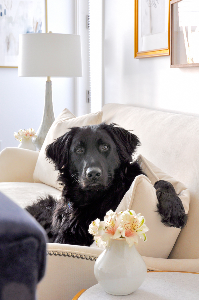 beautiful white living room with flat coat golden retriever mix