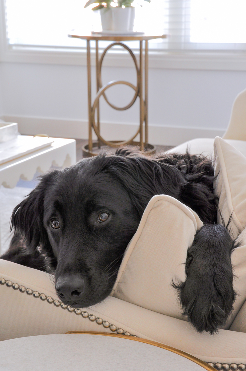 beautiful white living room with black retriever