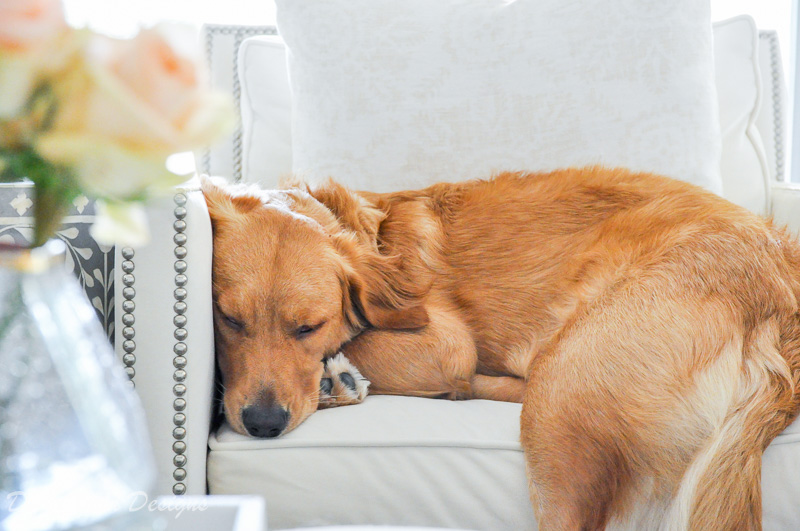 golden retriever puppy sleeping chair