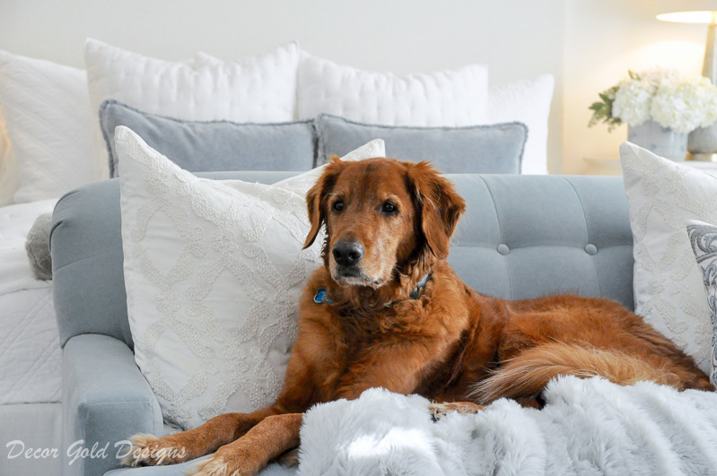 Golden retriever blue sofa